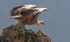 vautour fauve 5
