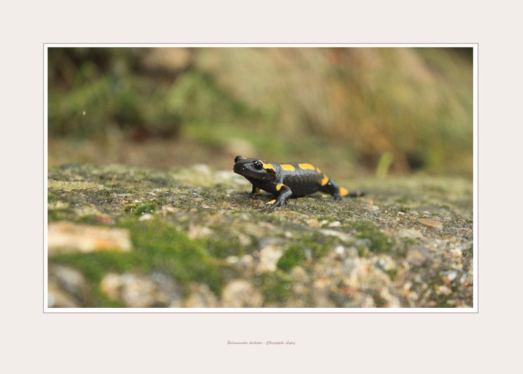 salamandreb10