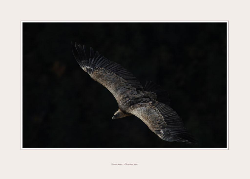 vautourb10