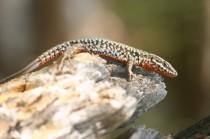 Lézard des murailles mâle arborant ses couleurs en période nuptiale.